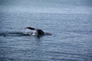 Whale at Cod